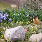 Marmot's Garden by Jan Cartwright