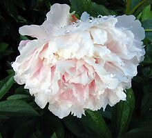 Peony with Raindrops by Detlef Becher