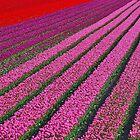 Dutch Tulips by Adri  Padmos