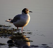Blackheaded Gull by Al Williscroft