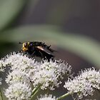 Tachina grossa by Michael Oubridge