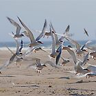 Common Terns by main1