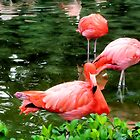 Flamingos by Dan Shiels