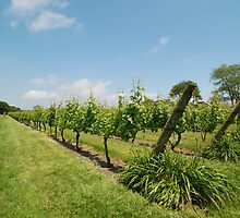 Grape vines by colleenboston