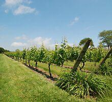 Grape vines by colleenboston