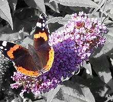 Red Admiral by PhotogeniquE IPA