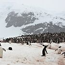 Gentoo Penguins ~ &quot;Penguinville, Curville Island, Antarctica&quot; by Robert Elliott