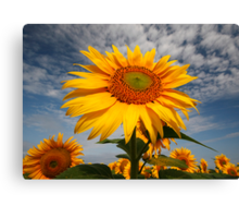 Sunflower morning . Canvas Print