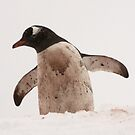 "Gentoo Penguin ~ ""Where's the soap Mum"" by Robert Elliott"