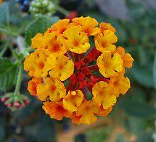 Lantana flower by Vittorio Magaletti