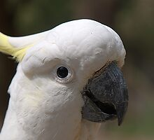 Sulphur Crested Cockatoo IV by Tom Newman