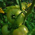 Green tomato's  by Jeff Stroud