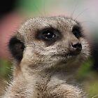 meerkat by springbob