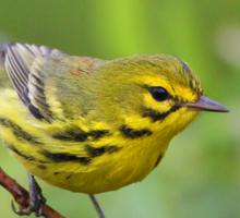 Tail-Wagging Prairie Warbler Sticker