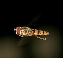 Hoverfly (full size photo) by Ian Chapman