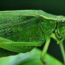 Katydid Closeup by Dennis Stewart