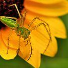 Green Lynx Spider Sequel by Dennis Stewart