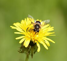 Bee on Dandelion by Lynn Ede