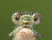 Damselfly  by main1