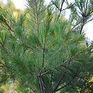 Mid-Summer Pine by JenniferJW
