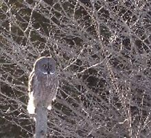 Great Grey Owl by cherylsnake