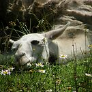 Llazy Llama by Len Bomba