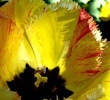 Tantalizing Tulip by Patty Boyte