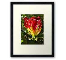 Flame Lily Framed Print
