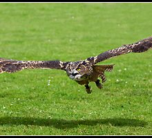 European Eagle Owl in flight by Shaun Whiteman