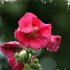 Hollyhock in the rain. by PeterRichardson
