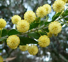 Acacia Blossoms NLP -2 by beeden