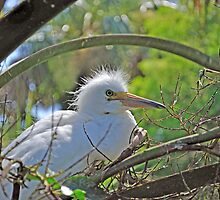 Snowy Egret by Kenneth Albin