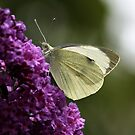 Cabbage White Butterfly by AnnDixon