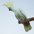 Sulphur-Crested Cockatoo by Jason Asher