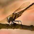 Dragonfly 2 by Geoff Carpenter