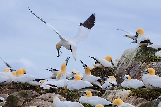 Bringing a gift, gannets, Saltee Island, County Wexford, Ireland by Andrew Jones