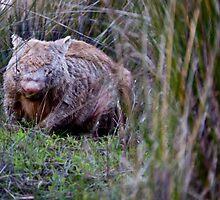 Australian Wildlife - Wombat by JimFilmer