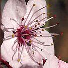 Flower of the Prunus Tree by Bev Pascoe