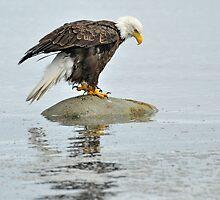 Water Everywhere - Bald Eagle by Barbara Burkhardt