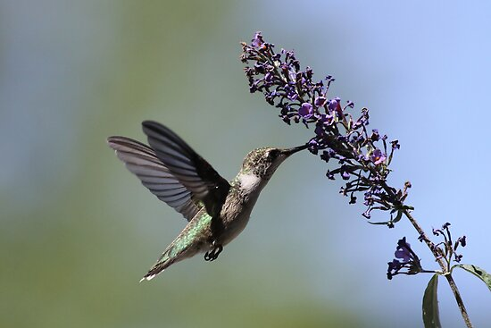 Hungry Hummer... by Gregg Williams