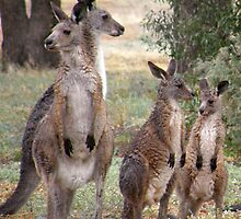 Roo Family by maggie-p-au