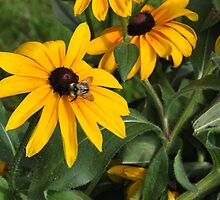 Bee on Black-eyed Susan by mltrue