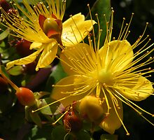 Hypericum by pat oubridge