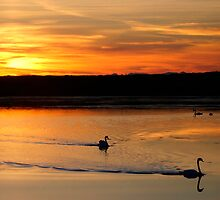 Swans in the sunset by viaterra-photos