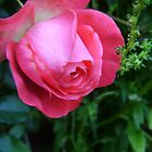 pink rose by Ravia Khatun