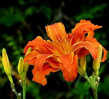 a daylily for today by VickiOBrien