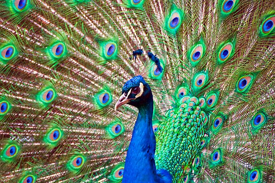 Peacock courtship display by rgstrachan