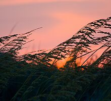 Sea Oat Sunset by Kyle Odom