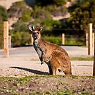 Wild Roo - Innes National Park - South Australia by AllshotsImaging