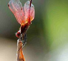 THE BALLERINA - Red Basket dragon fly by Magaret Meintjes